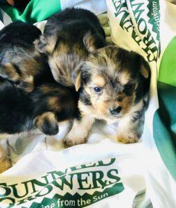 yorkie puppies with sunmed growers bandanasv