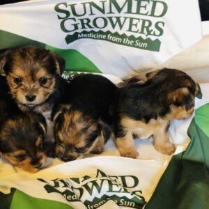yorkie puppies with sunmed growers handkerchief