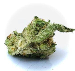 sugar leaf prominently displayed on bud of cindarella 99